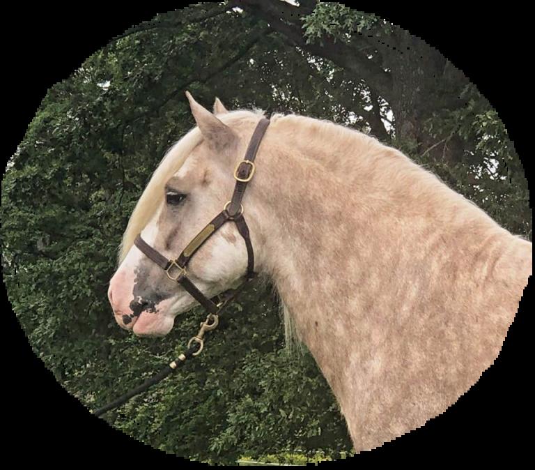 Gypsy Vanner stallion Warrior