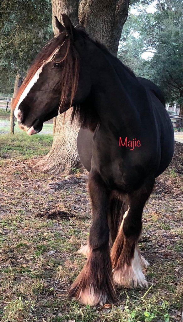 GDR Royals Black Majic - DAM - Owned by Horners Gypsy Vanners